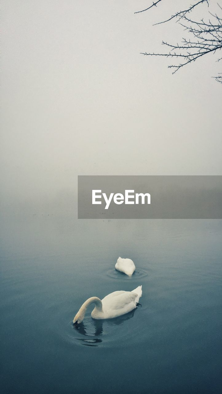 Swans Swimming In Lake During Foggy Weather