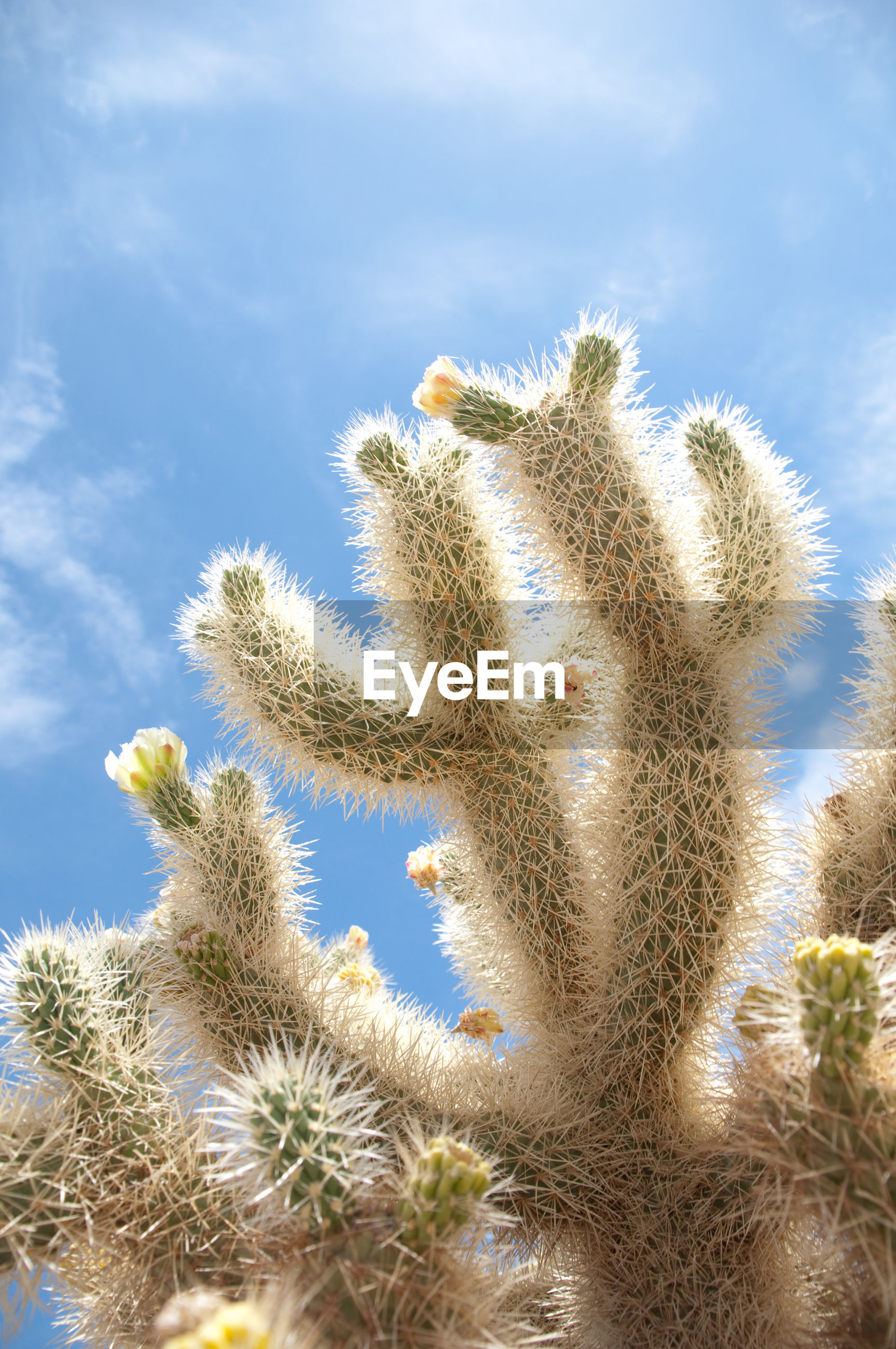 Low angle view of spiked cactus at joshua tree national park against sky