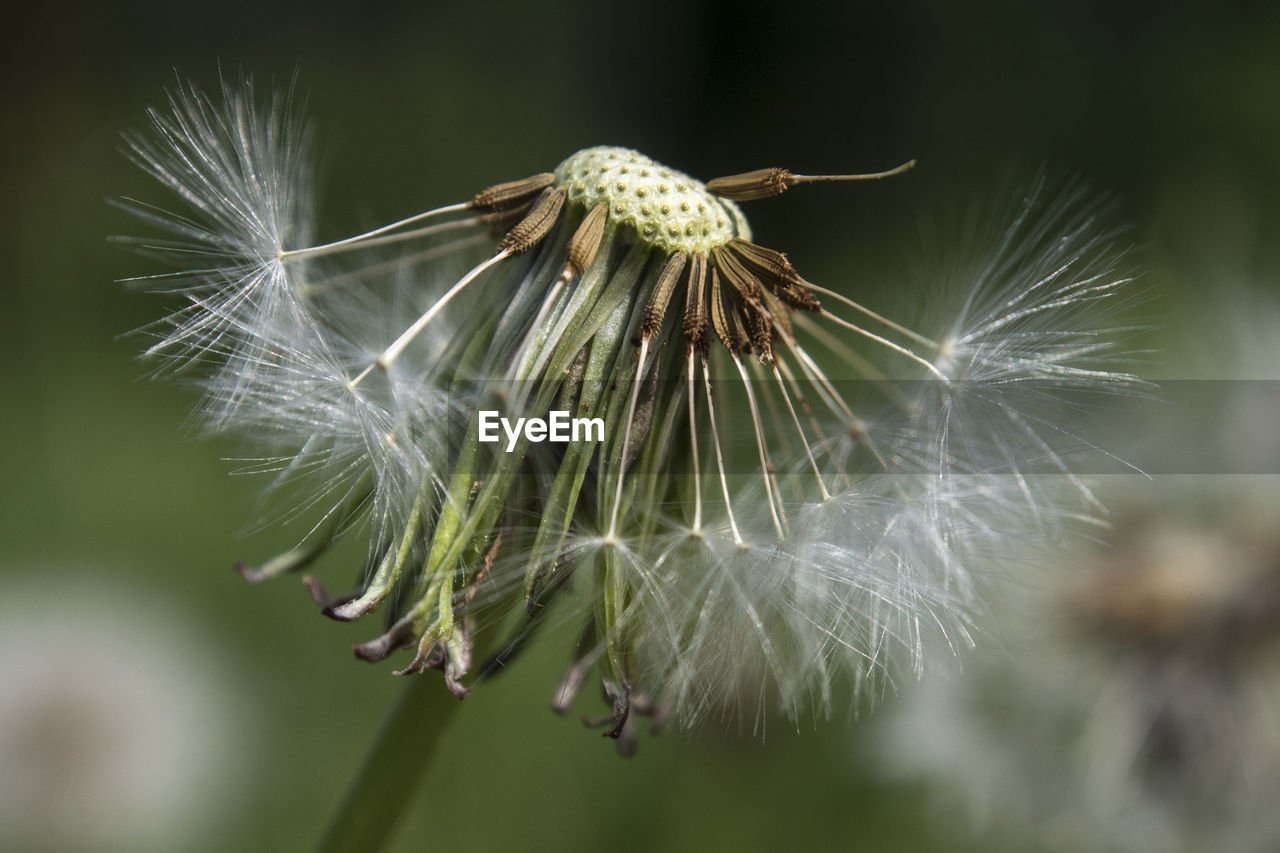 fragility, beauty in nature, flower, plant, flowering plant, vulnerability, close-up, dandelion, focus on foreground, freshness, growth, nature, day, no people, dandelion seed, flower head, inflorescence, selective focus, white color, outdoors, softness, wilted plant