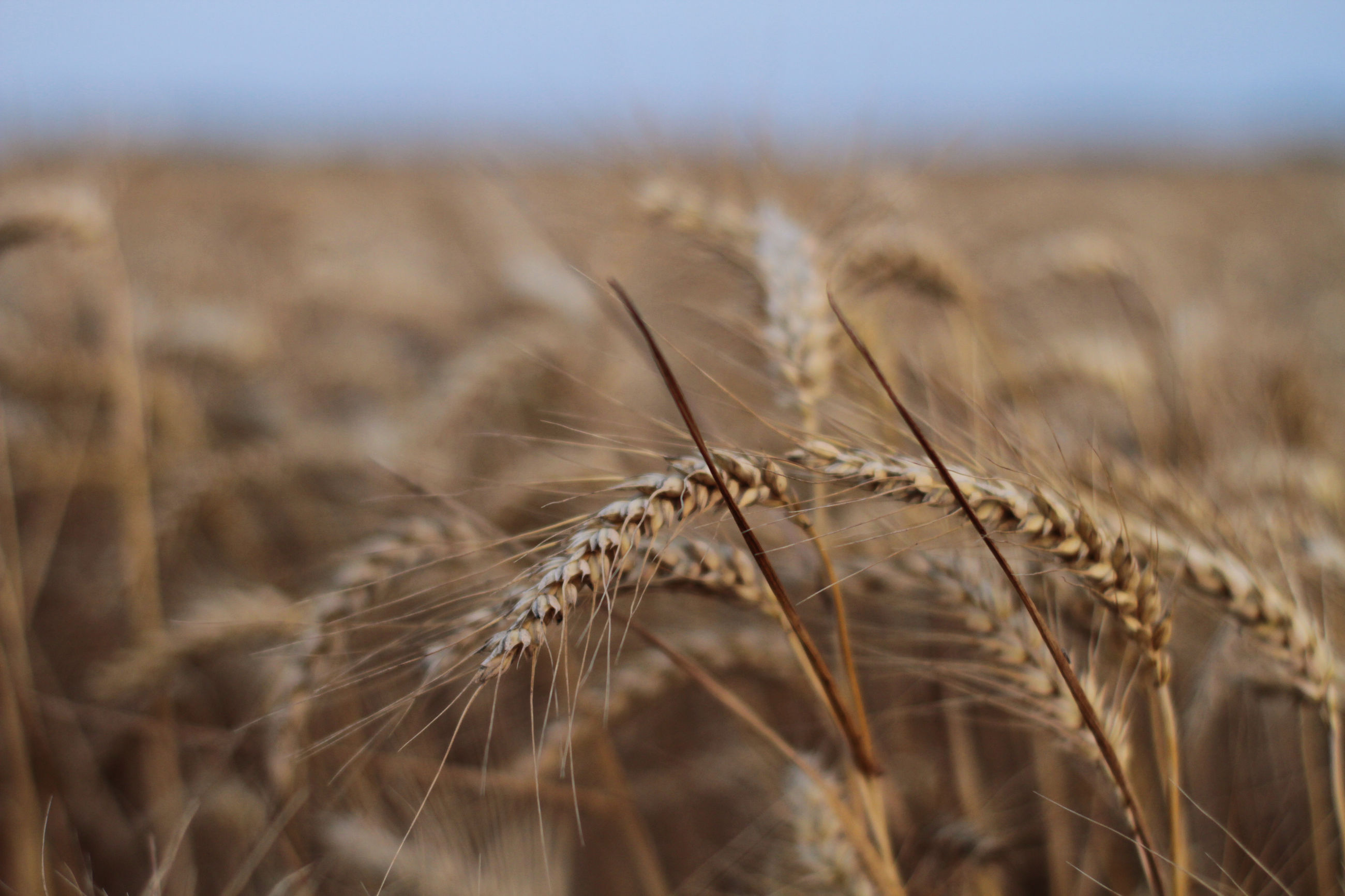 Close-up of wheat plants on field