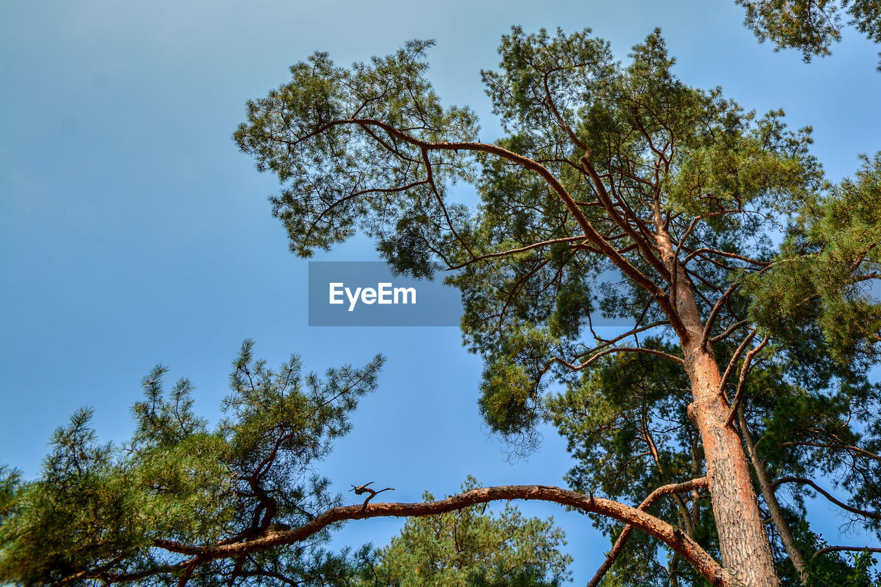 tree, low angle view, branch, nature, growth, day, beauty in nature, outdoors, no people, sky, forest, clear sky
