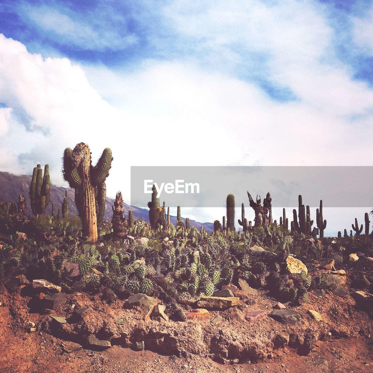 Cactus growing on desert against cloudy sky