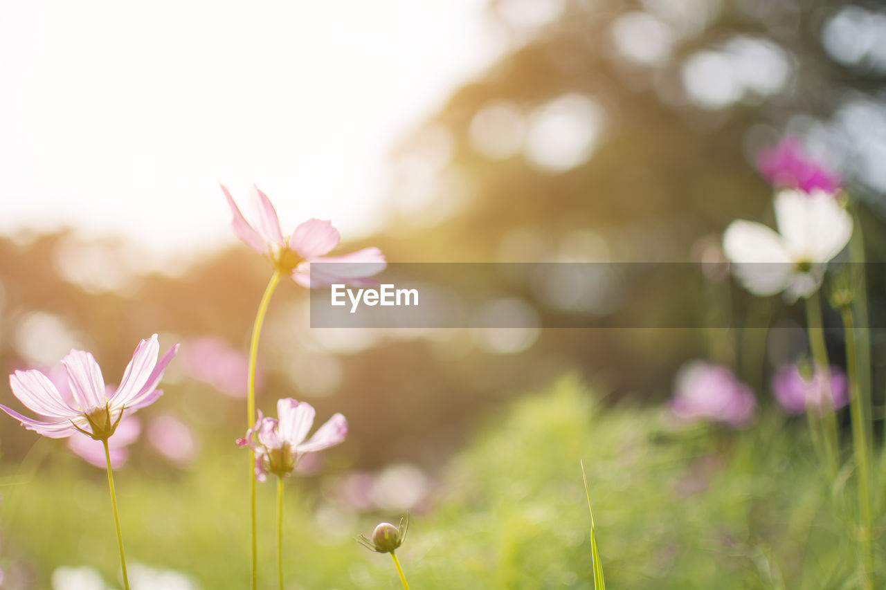flower, nature, growth, beauty in nature, fragility, plant, freshness, petal, blooming, flower head, close-up, focus on foreground, pink color, no people, outdoors, day, cosmos flower