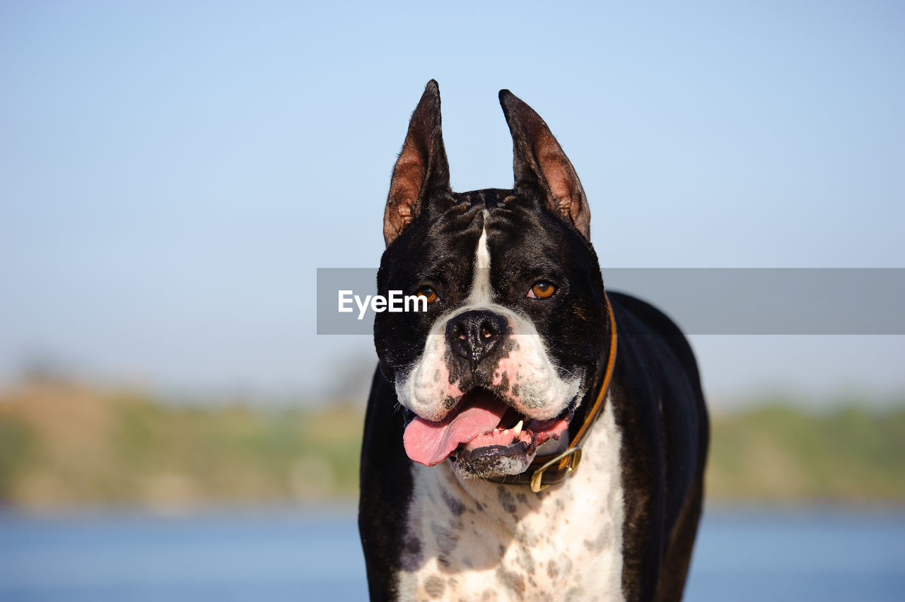 View Of Dog Sticking Out Tongue