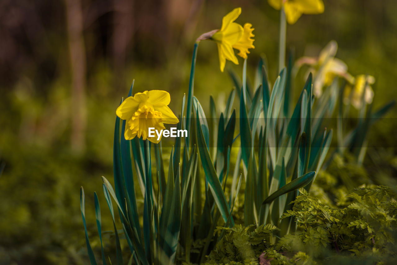 flower, yellow, fragility, growth, beauty in nature, plant, petal, nature, daffodil, flower head, freshness, no people, blooming, field, close-up, focus on foreground, day, outdoors, crocus