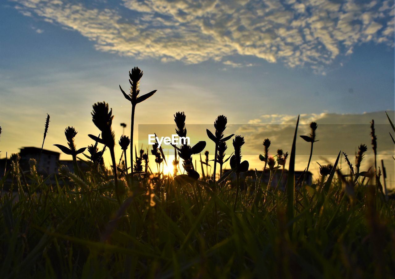plant, sunset, sky, growth, field, beauty in nature, cloud - sky, land, nature, tranquility, tranquil scene, grass, flower, sunlight, no people, silhouette, scenics - nature, fragility, flowering plant, outdoors