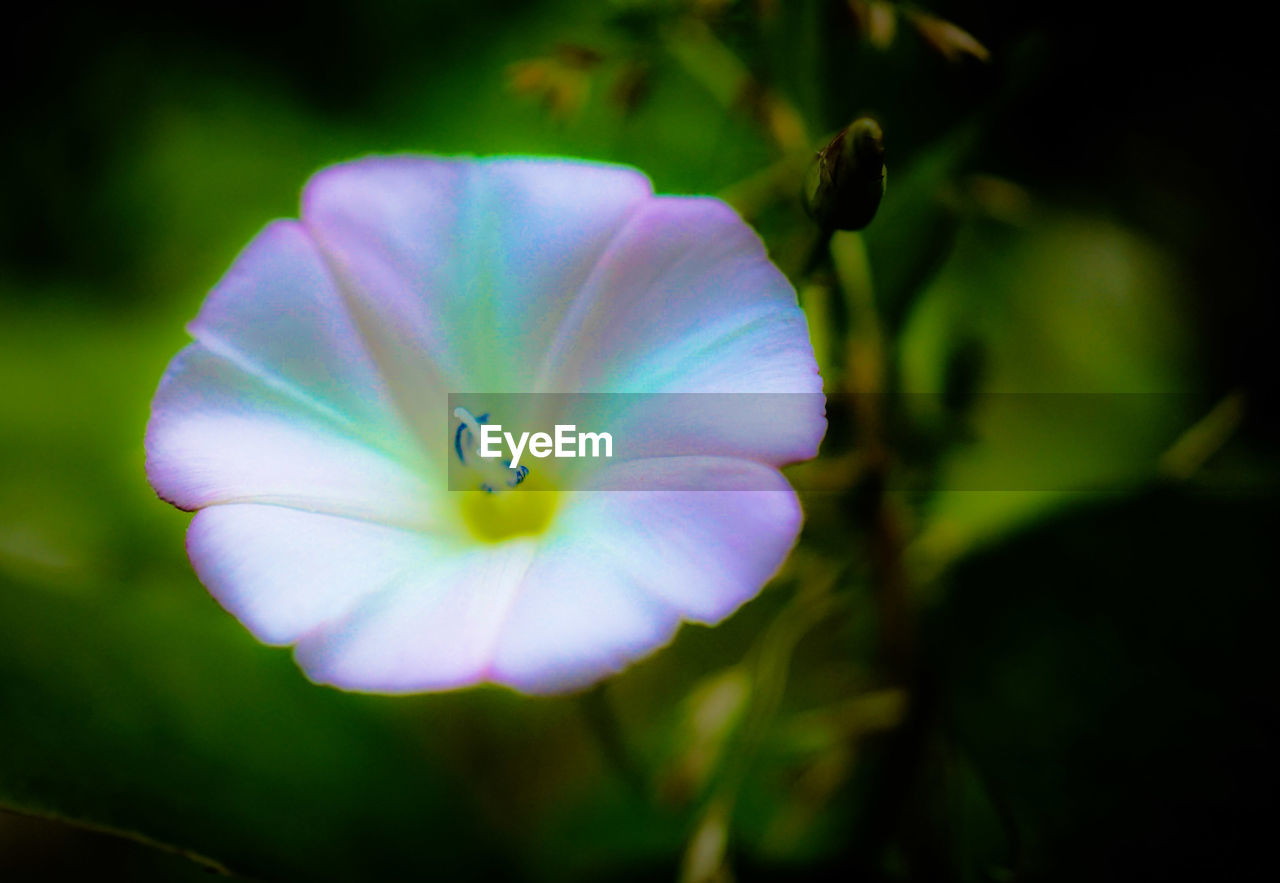flower, petal, growth, flower head, beauty in nature, nature, fragility, plant, blooming, focus on foreground, freshness, close-up, no people, day, outdoors, petunia