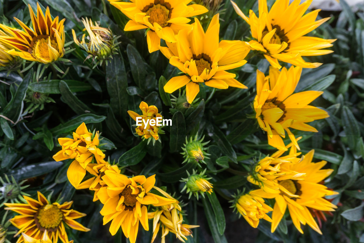 flowering plant, flower, vulnerability, fragility, yellow, freshness, petal, plant, beauty in nature, growth, flower head, inflorescence, close-up, nature, high angle view, day, no people, pollen, outdoors, botany, gazania