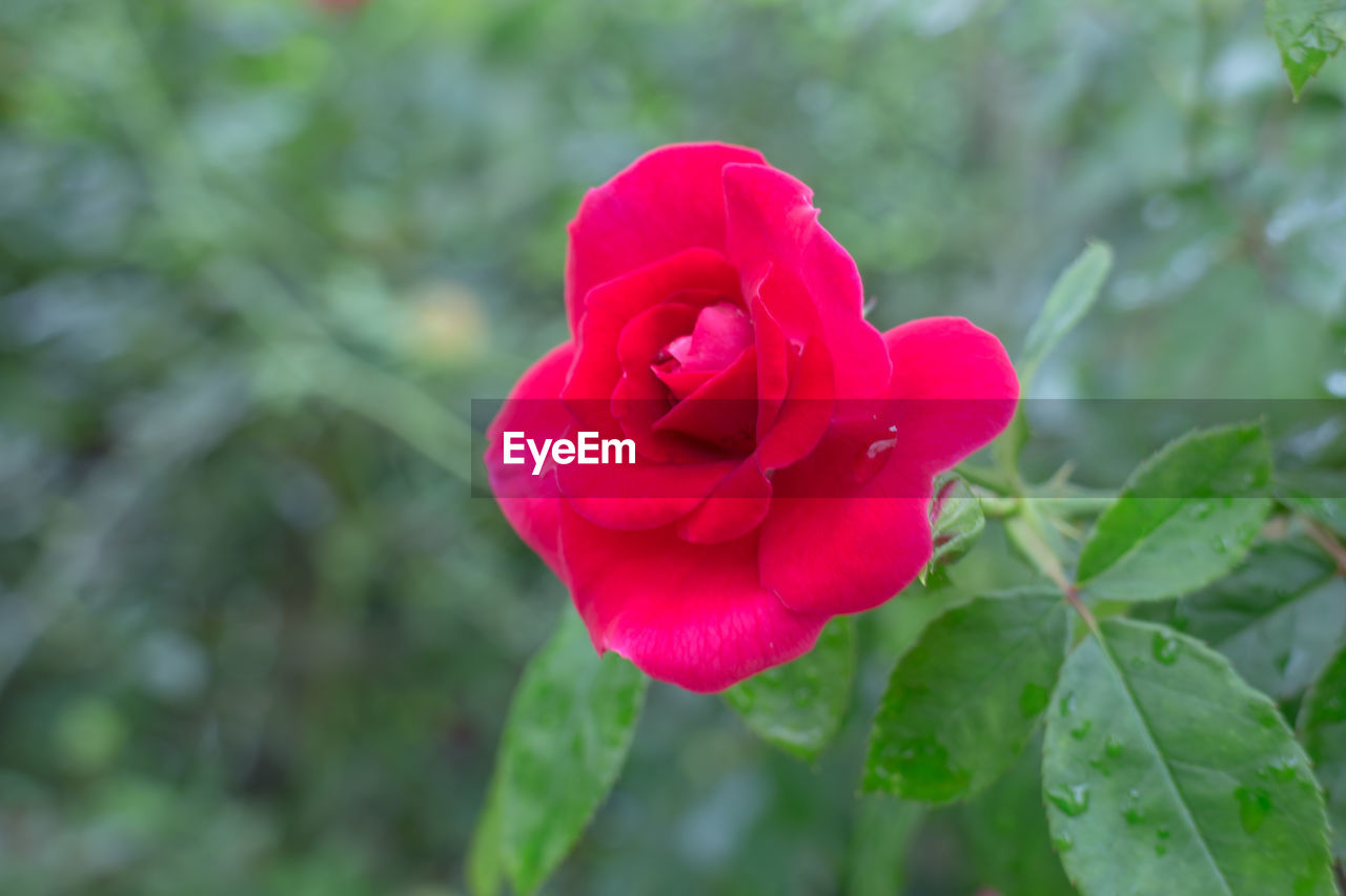 flower, red, nature, petal, rose - flower, fragility, beauty in nature, growth, flower head, focus on foreground, day, freshness, no people, plant, outdoors, blooming, close-up