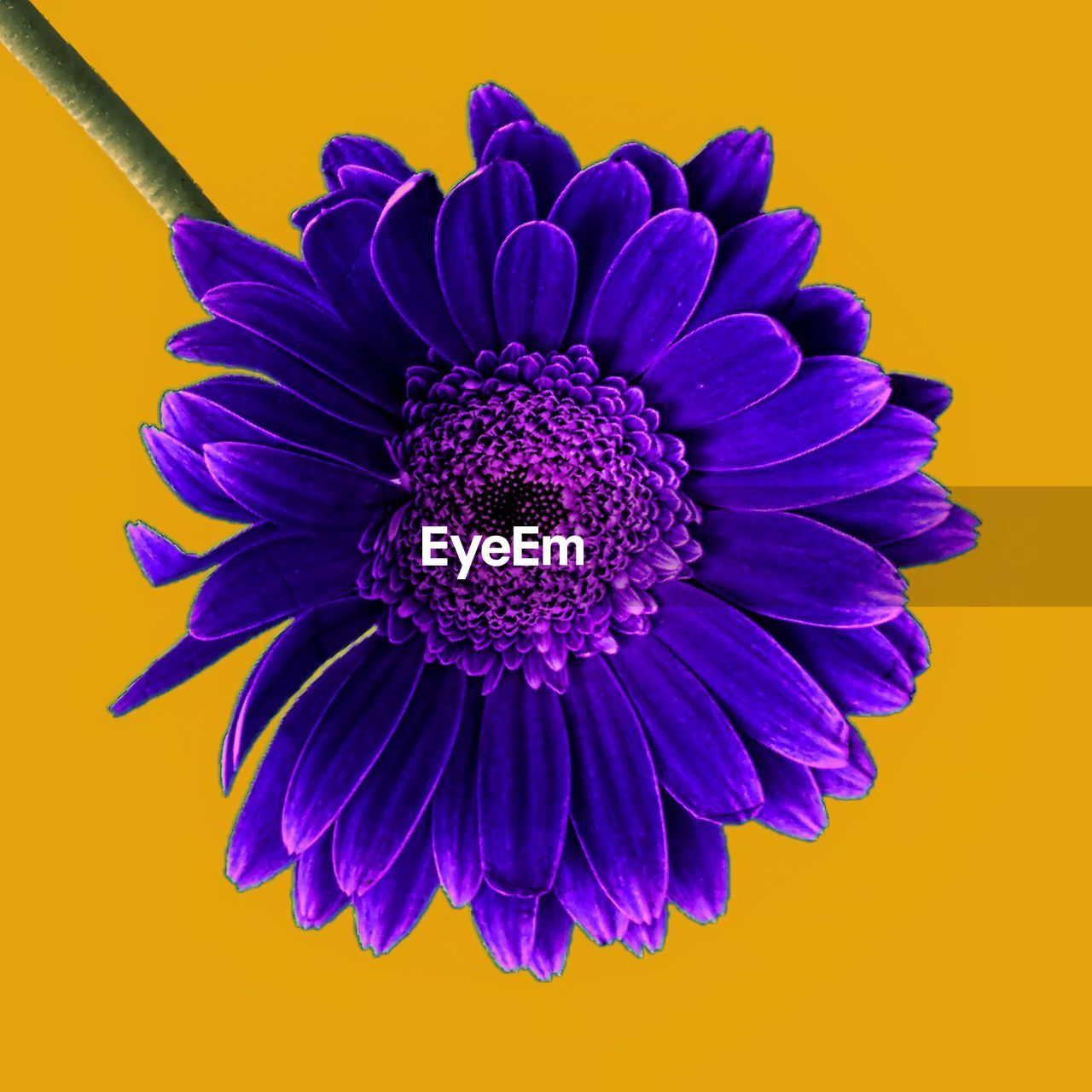 Close-up of purple flower on yellow background