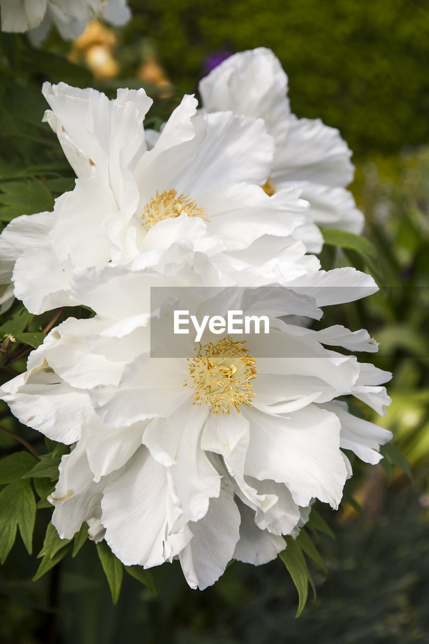 flower, flowering plant, beauty in nature, freshness, white color, fragility, vulnerability, petal, plant, close-up, flower head, inflorescence, nature, growth, no people, day, focus on foreground, outdoors, pollen