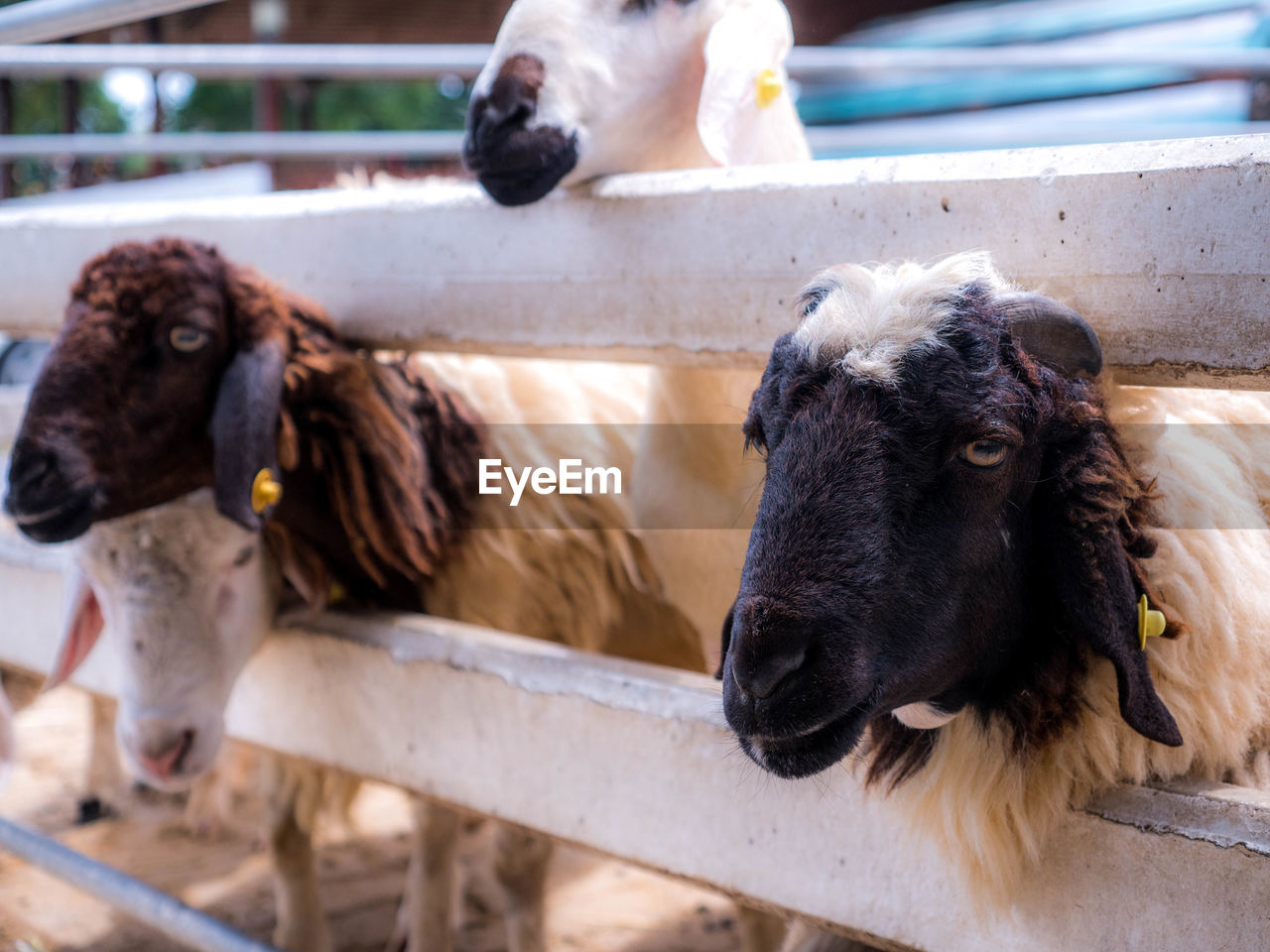 mammal, animal, animal themes, domestic, domestic animals, pets, livestock, vertebrate, group of animals, focus on foreground, no people, barrier, day, boundary, cattle, fence, herbivorous, wood - material, outdoors, animal pen, animal head
