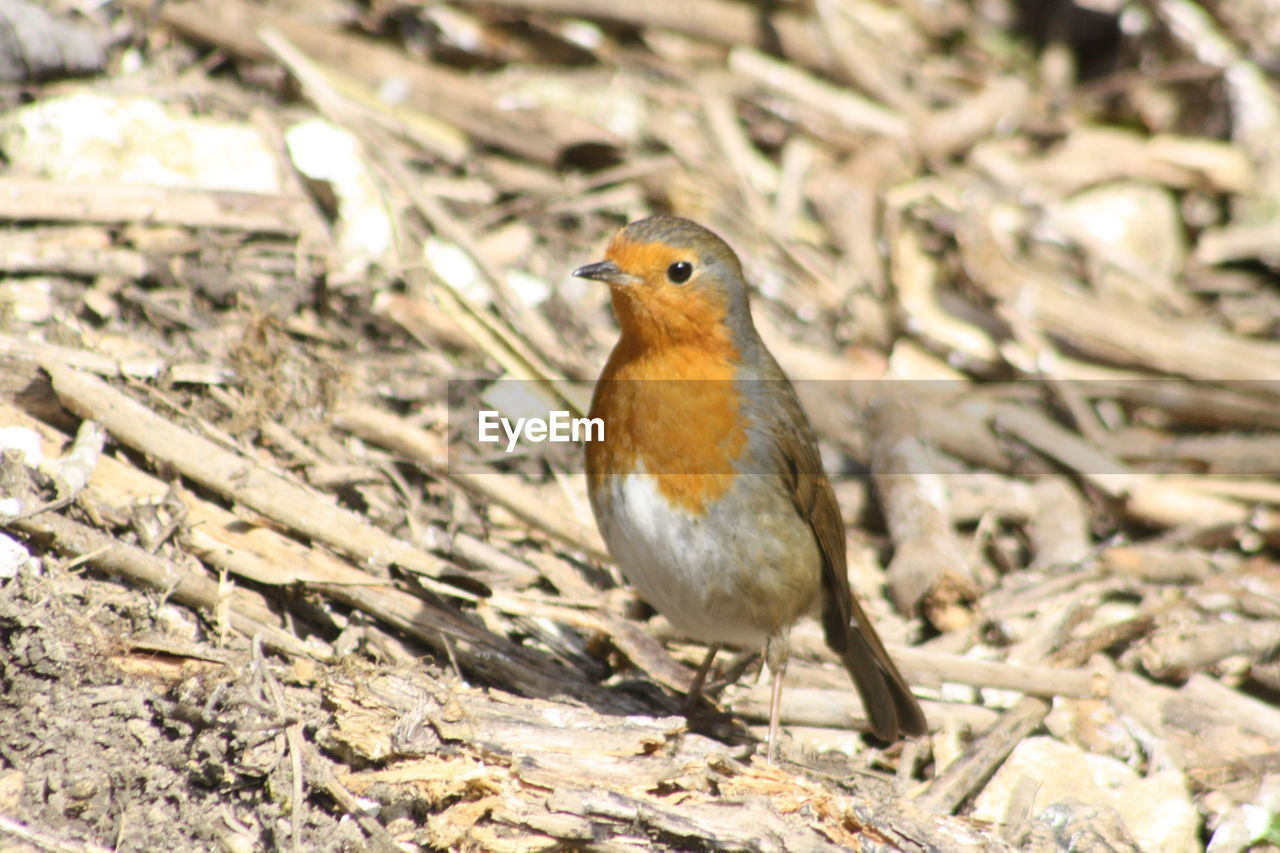 one animal, animals in the wild, robin, animal themes, bird, nature, animal wildlife, no people, field, day, outdoors, close-up, perching