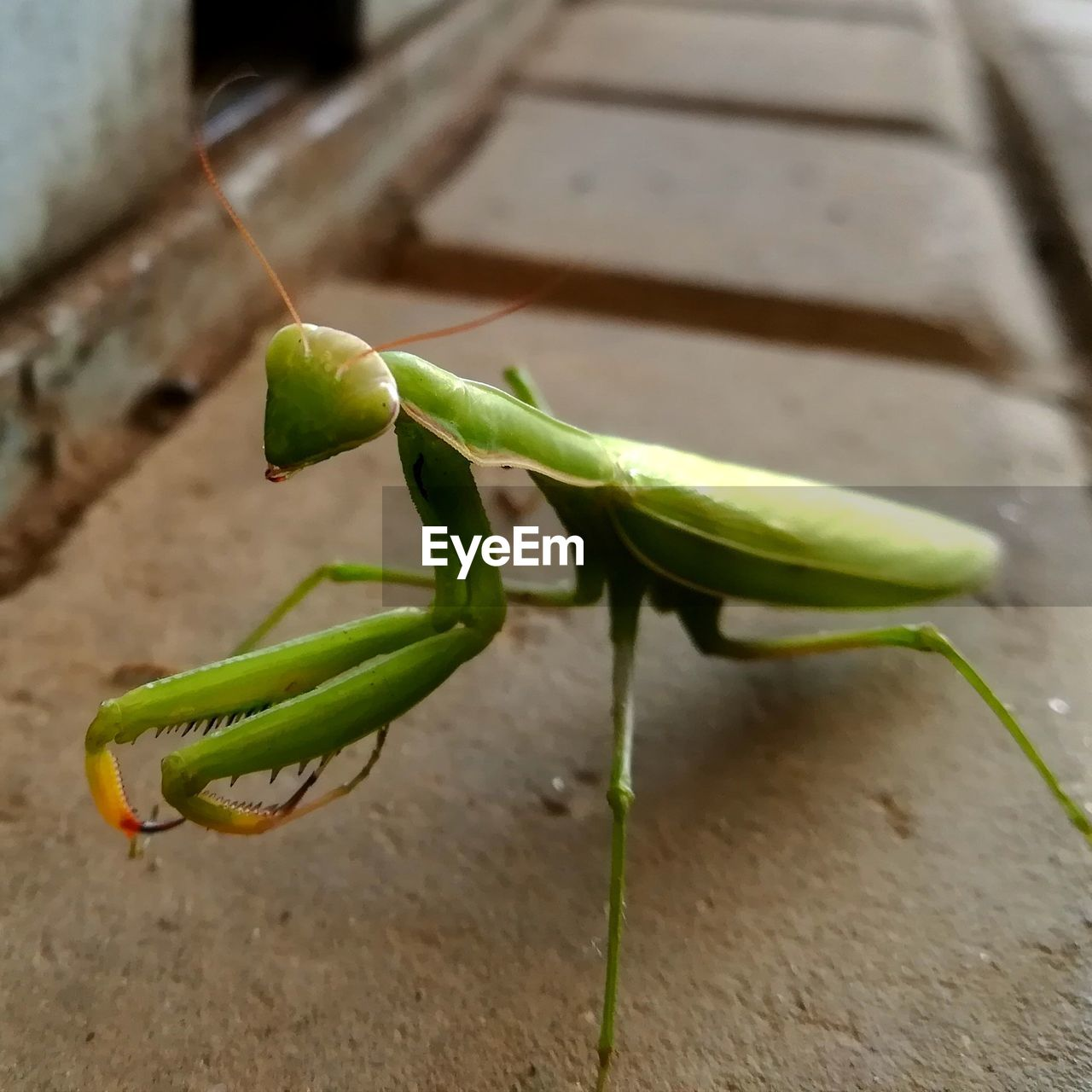 green color, close-up, animal wildlife, no people, animals in the wild, invertebrate, insect, one animal, animal themes, praying mantis, animal, day, nature, selective focus, focus on foreground, outdoors, animal body part, zoology, animal antenna, high angle view
