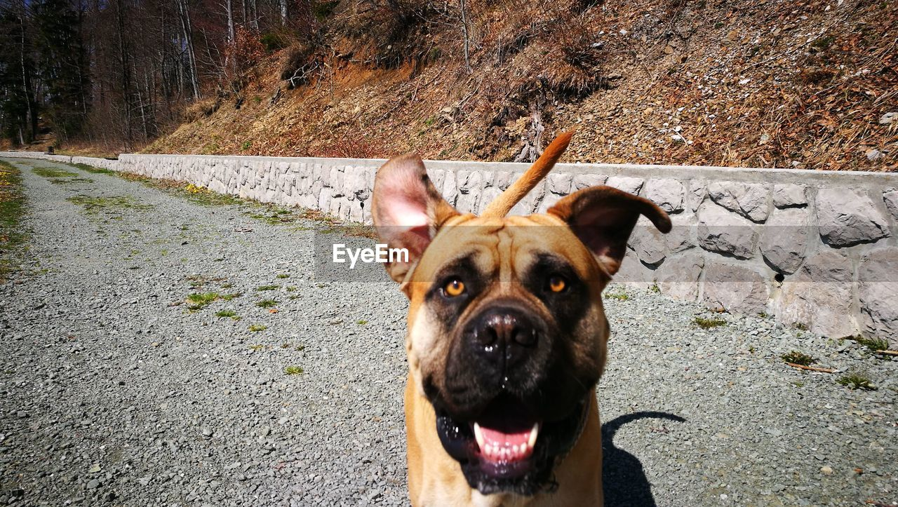 canine, mammal, dog, one animal, domestic, pets, domestic animals, animal themes, animal, vertebrate, portrait, day, looking at camera, animal body part, no people, mouth, mouth open, facial expression, sticking out tongue, nature, outdoors, animal head, panting, animal mouth