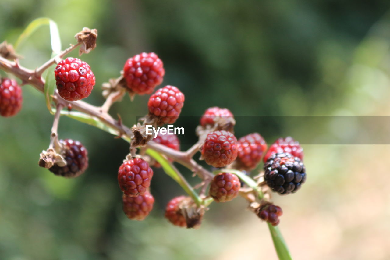 fruit, berry fruit, growth, freshness, plant, healthy eating, food, close-up, food and drink, focus on foreground, red, day, no people, nature, beauty in nature, tree, wellbeing, selective focus, outdoors, raspberry, ripe