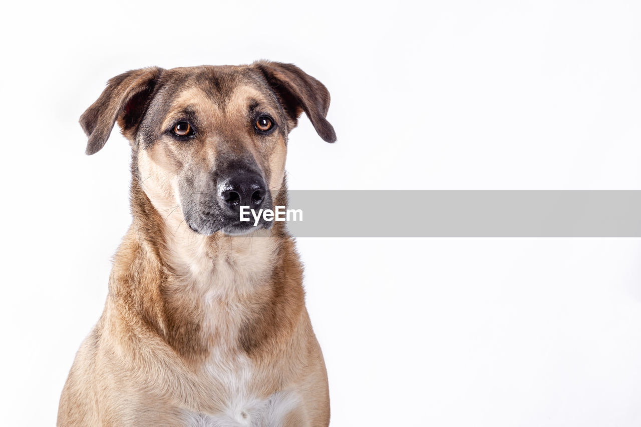 PORTRAIT OF DOG LOOKING AT WHITE BACKGROUND