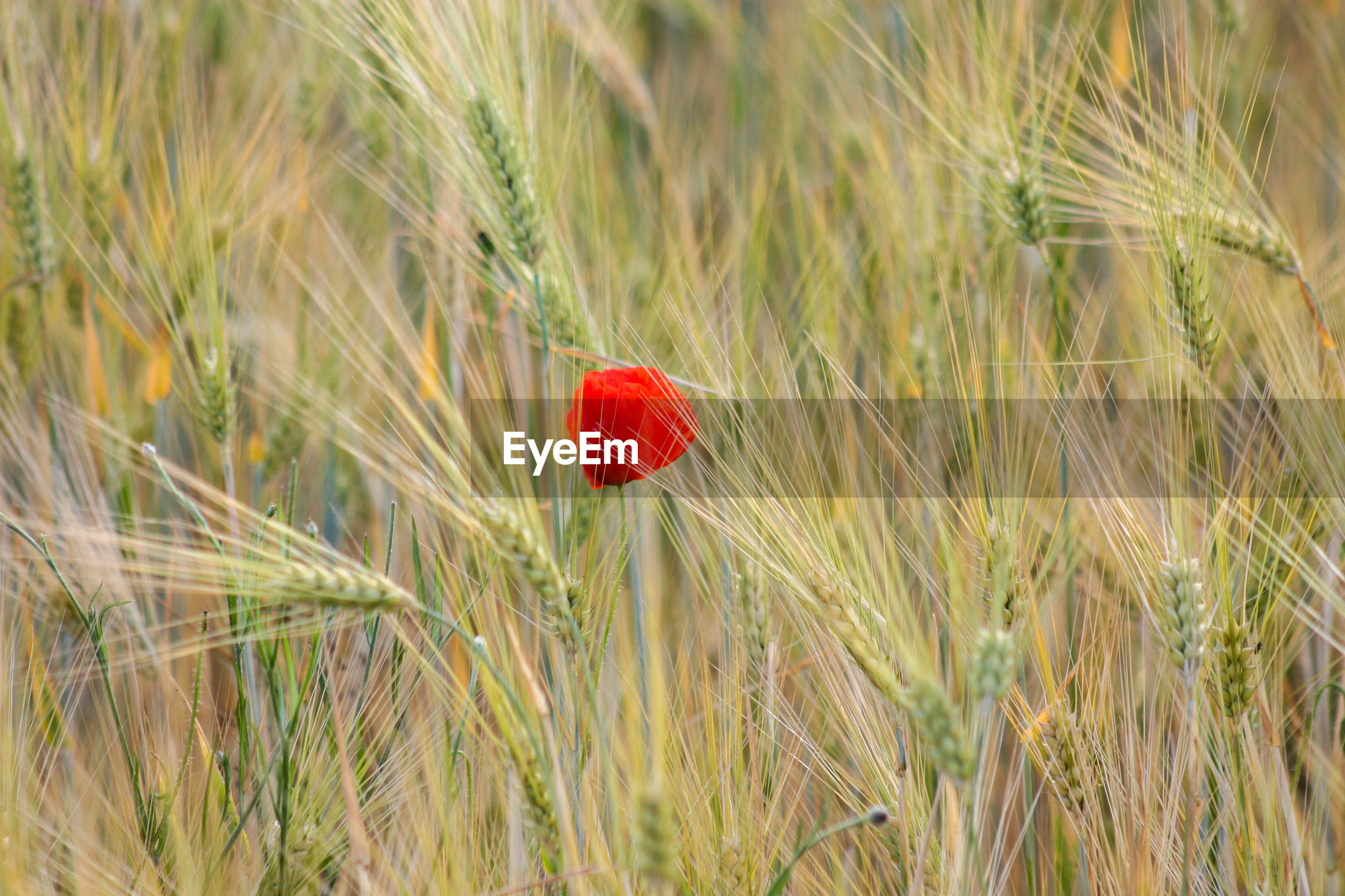 CLOSE-UP OF RED POPPY GROWING IN FIELD
