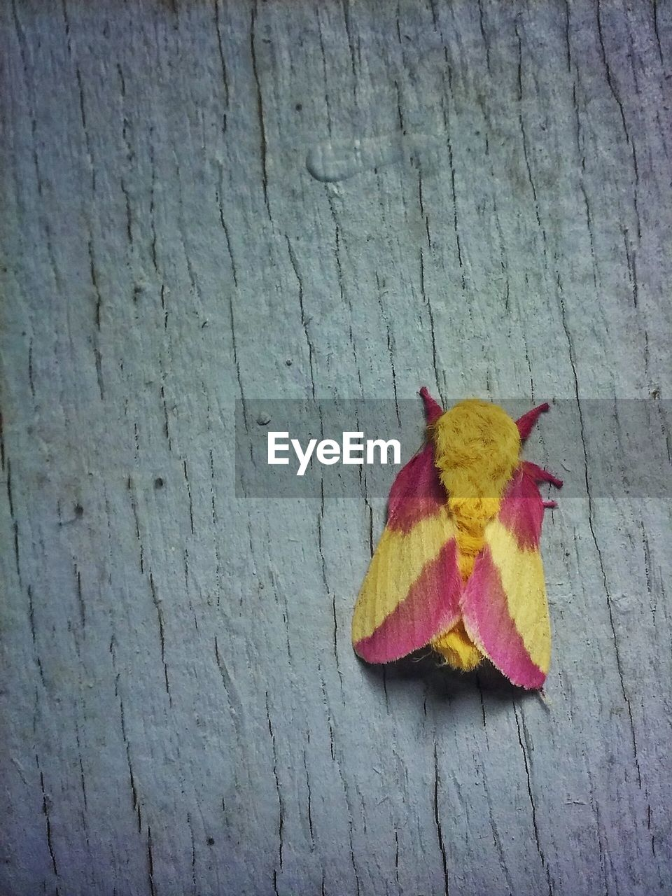 Close-Up Of Pink And Yellow Moth On Wooden Plank