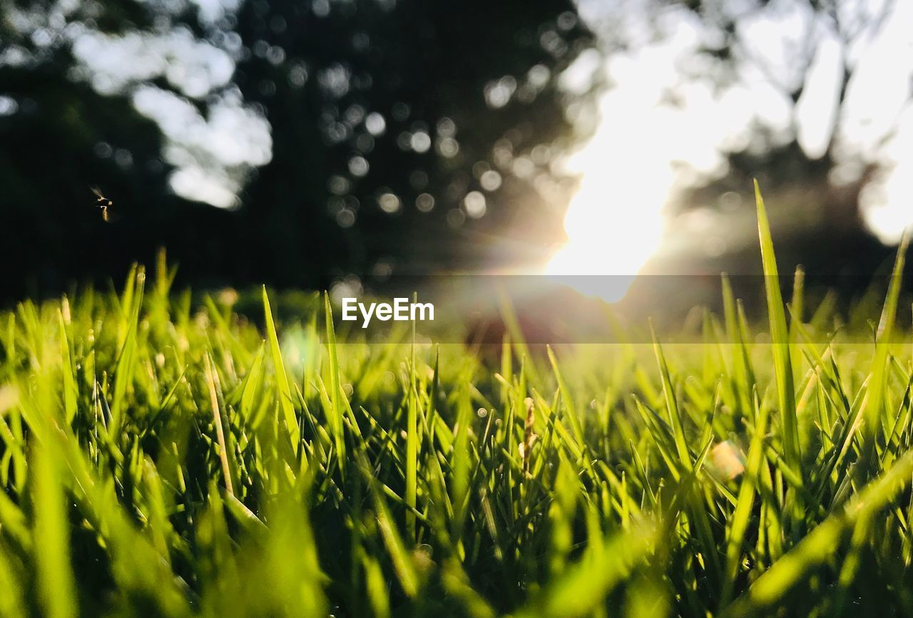 sunlight, growth, field, land, selective focus, plant, nature, grass, lens flare, beauty in nature, sun, green color, sky, tranquility, no people, agriculture, sunbeam, outdoors, day, landscape, bright, surface level, blade of grass