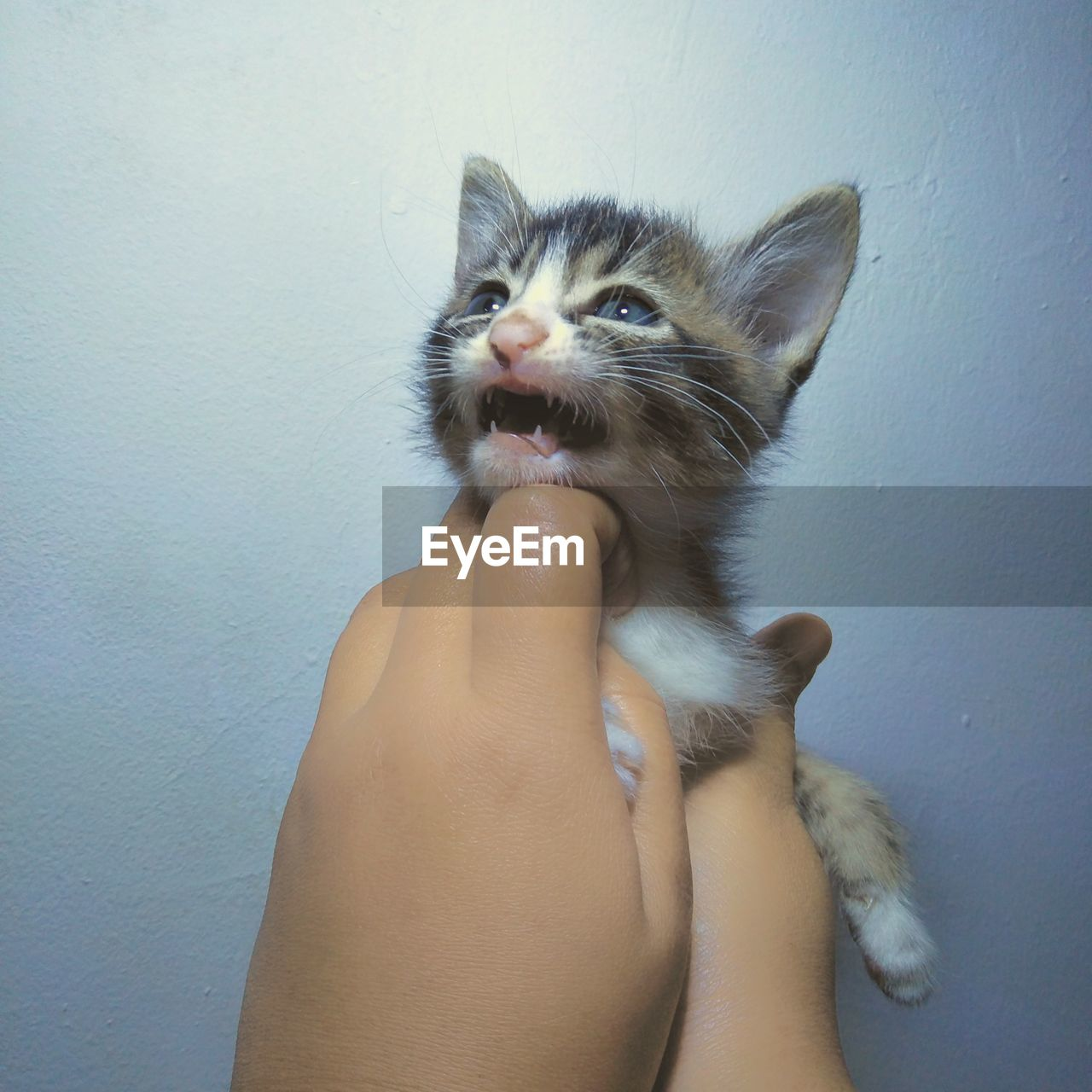 domestic, pets, mammal, domestic animals, one animal, cat, human hand, hand, feline, domestic cat, vertebrate, human body part, one person, personal perspective, real people, indoors, wall - building feature, body part, finger, whisker, kitten, pet owner, mouth open, human limb