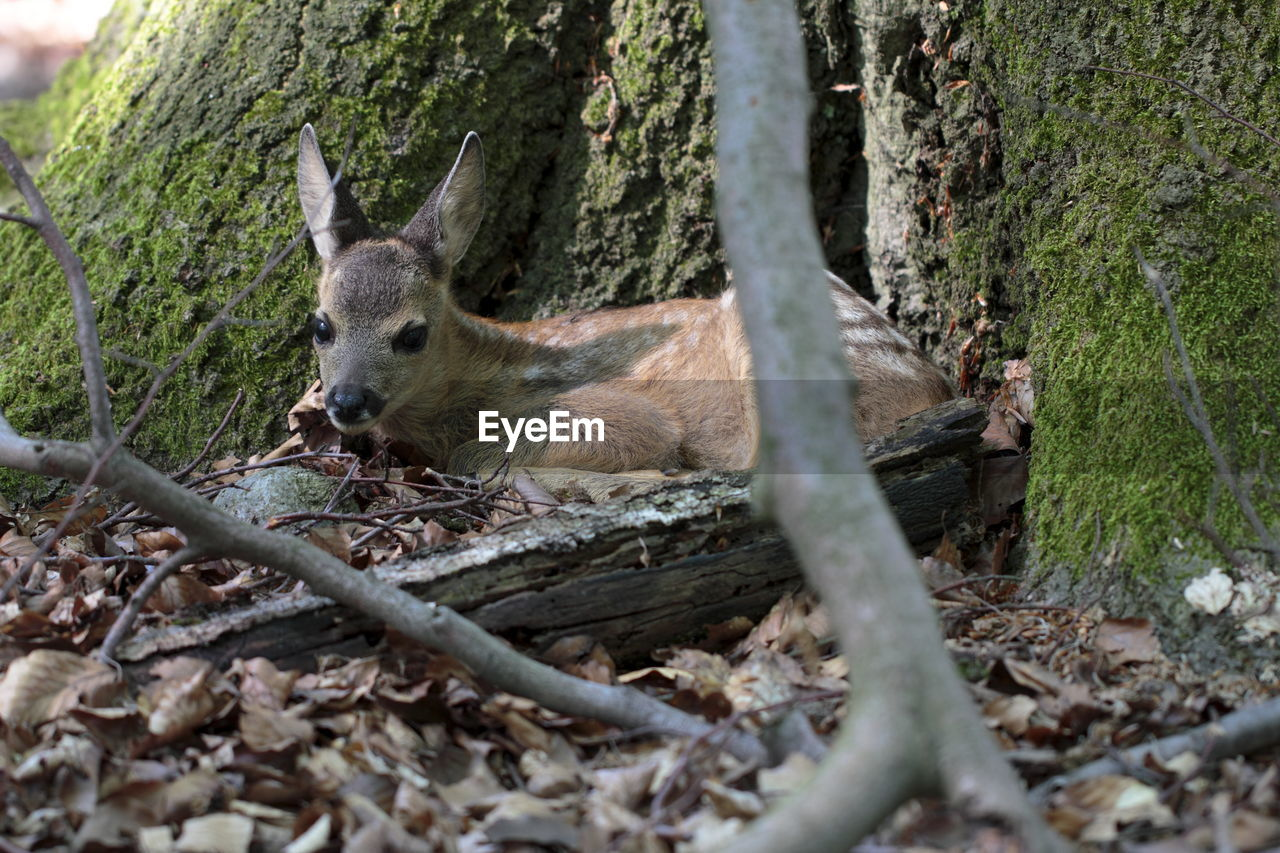 Close-up of young deer under a tree