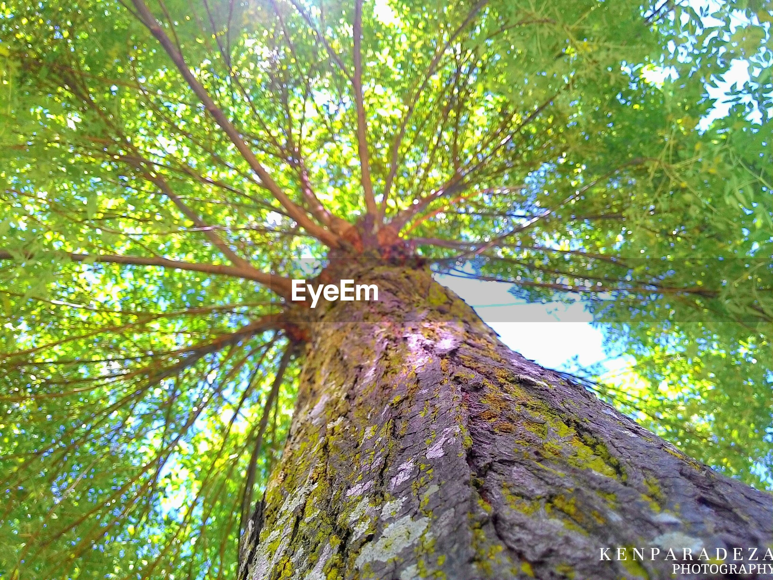 tree, low angle view, branch, growth, green color, tree trunk, nature, tranquility, beauty in nature, forest, leaf, day, outdoors, no people, backgrounds, sky, full frame, lush foliage, sunlight, green