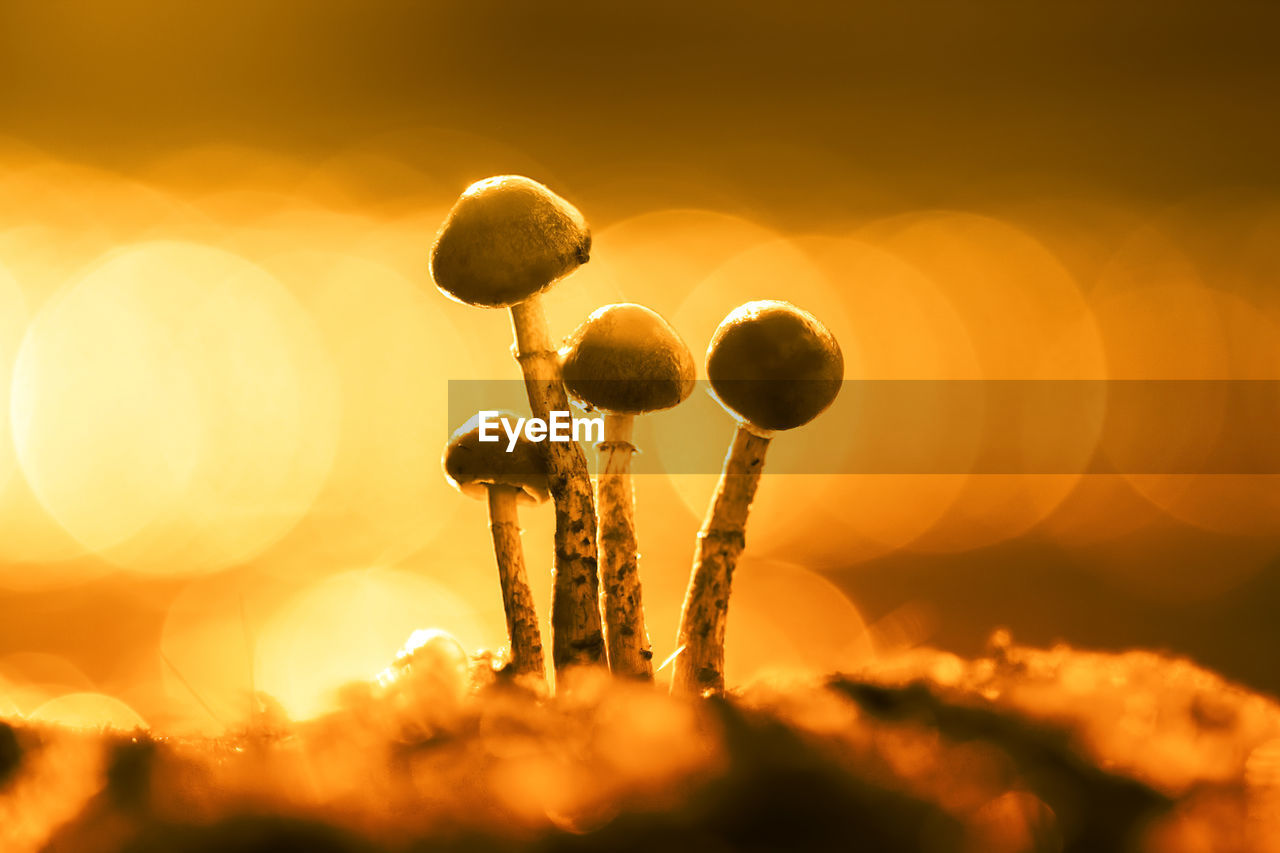 Close-Up Of Mushrooms On Field Against Sky During Sunset