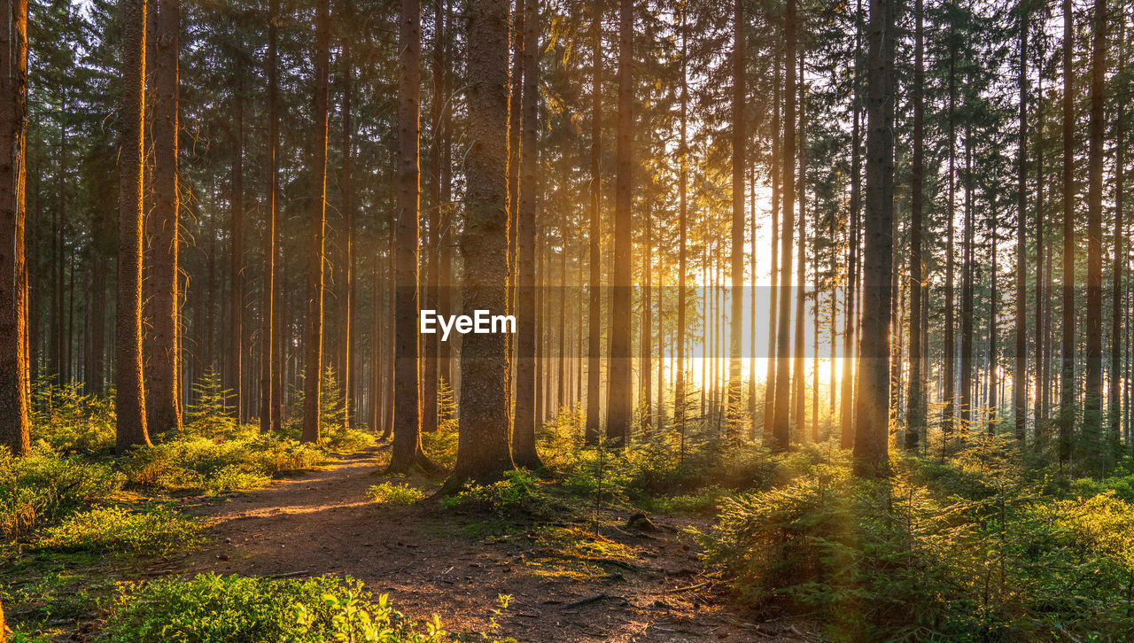 forest, tree, land, plant, woodland, tranquility, beauty in nature, nature, autumn, sunlight, non-urban scene, scenics - nature, tranquil scene, trunk, no people, tree trunk, day, landscape, growth, environment, outdoors, pine tree, pine woodland, coniferous tree