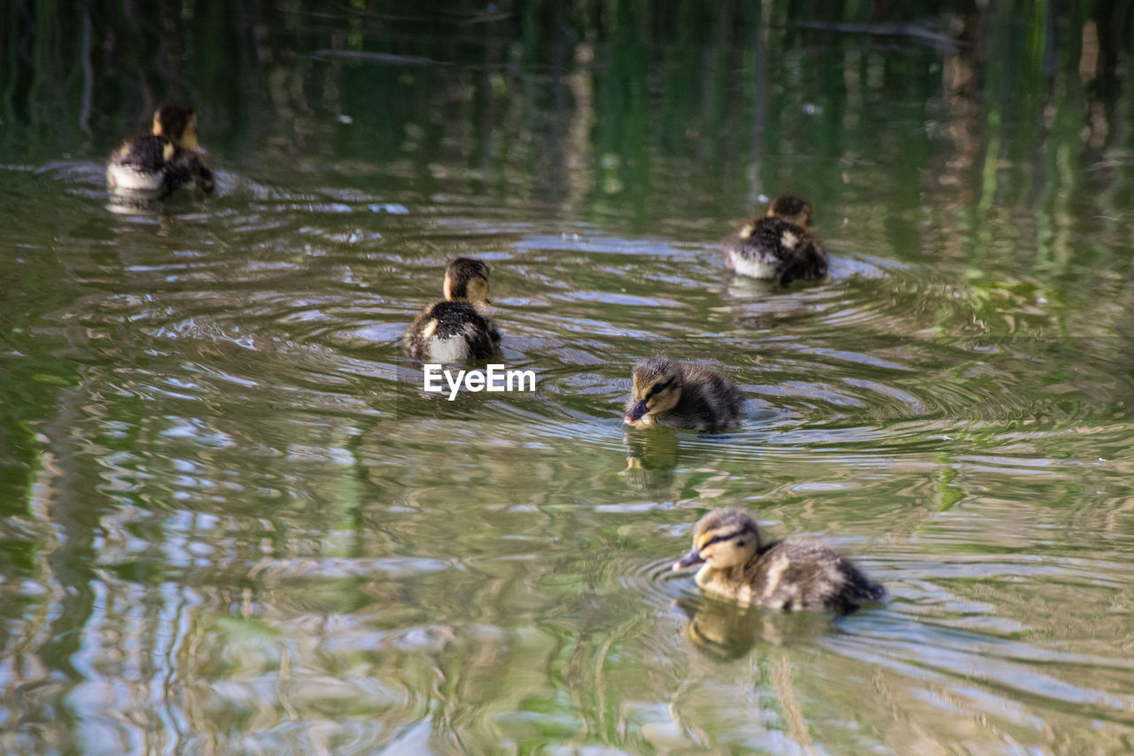 group of animals, animal themes, animal, animal wildlife, vertebrate, swimming, animals in the wild, water, lake, young animal, nature, bird, no people, day, waterfront, duck, young bird, motion, rippled, outdoors, animal family