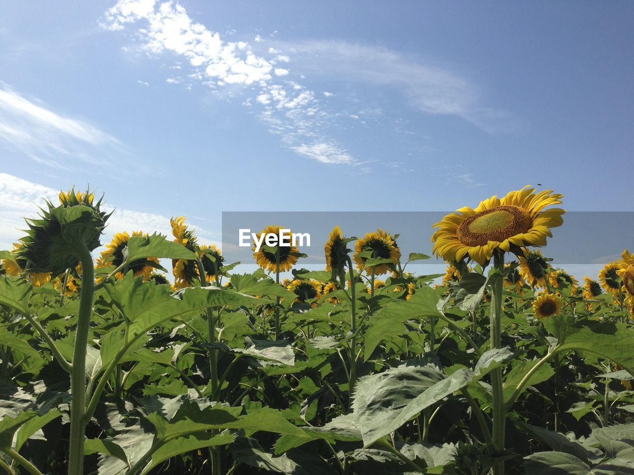 flower, growth, nature, plant, fragility, freshness, beauty in nature, petal, day, no people, yellow, field, sky, flower head, outdoors, leaf, sunflower, blooming, close-up