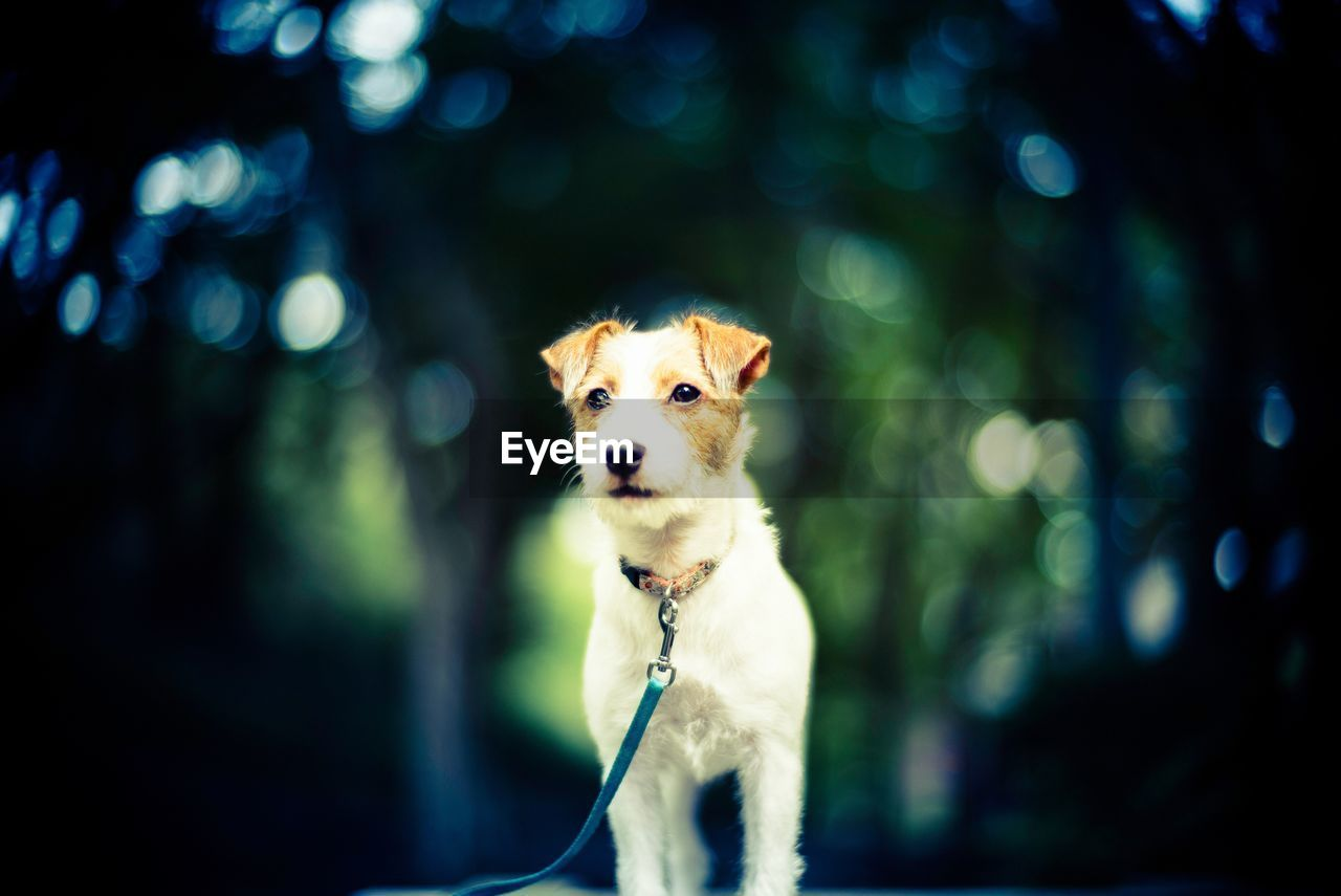 one animal, mammal, animal themes, canine, dog, domestic, pets, animal, domestic animals, vertebrate, focus on foreground, no people, portrait, pet collar, looking at camera, pet leash, leash, collar, looking, animal head, jack russell terrier