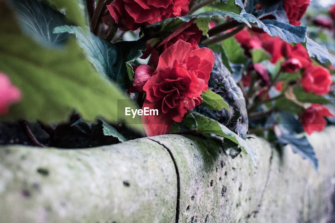flower, nature, petal, growth, beauty in nature, red, day, fragility, leaf, no people, outdoors, plant, flower head, green color, close-up, freshness, blooming