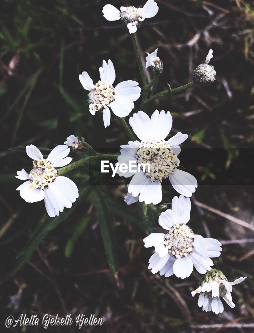 flower, white color, blossom, fragility, growth, beauty in nature, petal, nature, botany, apple blossom, springtime, freshness, flower head, no people, day, close-up, tree, branch, outdoors