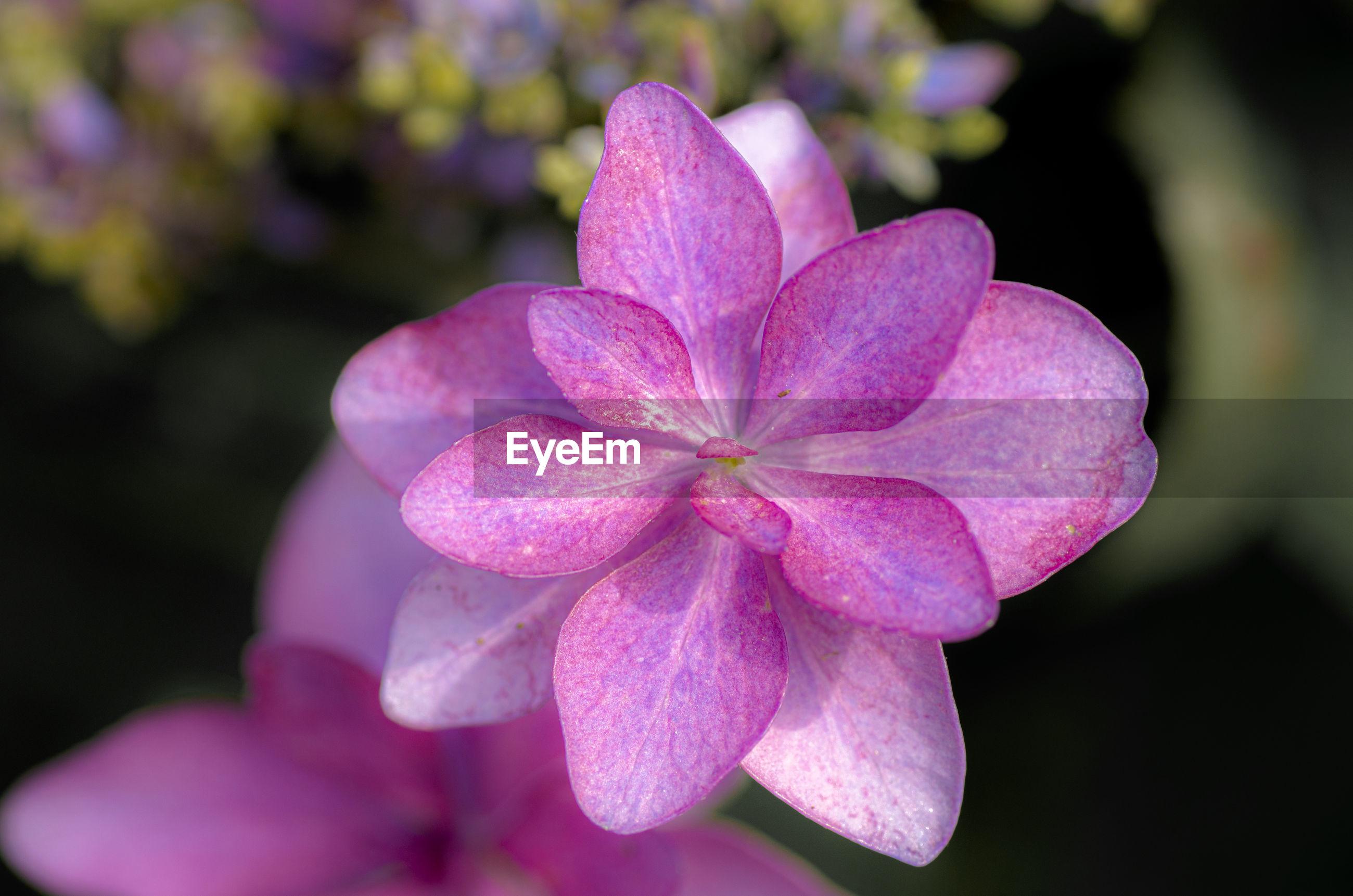 CLOSE-UP OF FRESH PINK ROSE FLOWER
