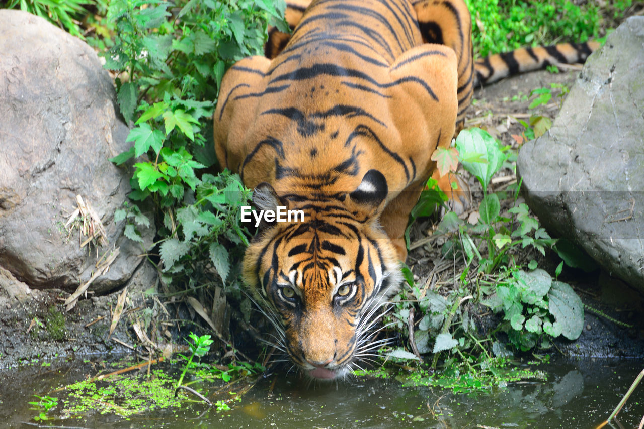Close-up of alert tiger drinking water