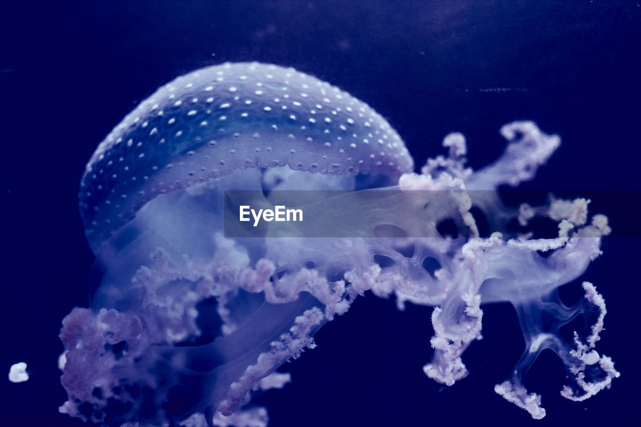 underwater, sea life, one animal, animal themes, animals in the wild, no people, jellyfish, swimming, close-up, undersea, sea, animal wildlife, water, aquarium, nature, beauty in nature, day