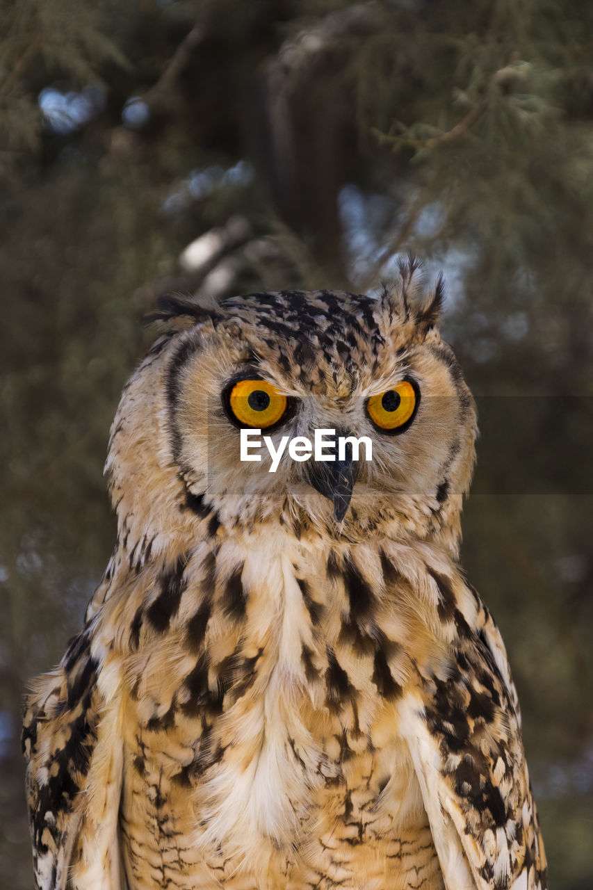 animal themes, animal wildlife, animal, one animal, animals in the wild, bird, bird of prey, vertebrate, focus on foreground, close-up, owl, day, looking at camera, no people, portrait, yellow eyes, outdoors, nature, animal body part, looking, animal eye, animal head, eagle