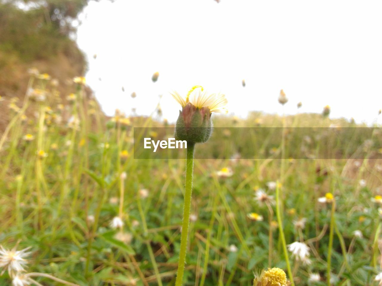 flower, nature, growth, plant, fragility, field, freshness, beauty in nature, petal, outdoors, selective focus, no people, day, close-up, flower head, grass, focus on foreground, yellow, animal themes, blooming, sky