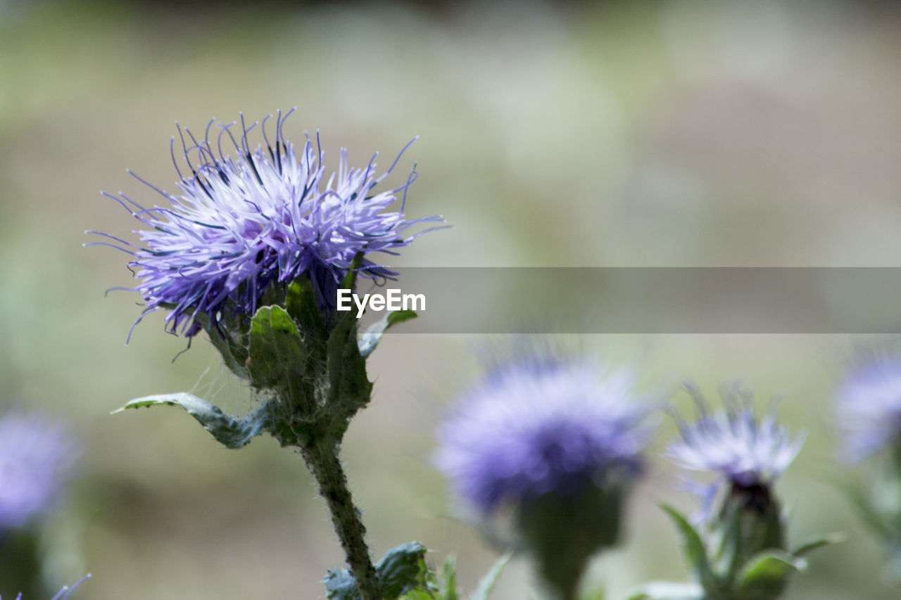 flower, purple, fragility, nature, beauty in nature, growth, freshness, flower head, day, petal, plant, focus on foreground, thistle, outdoors, no people, close-up, blooming