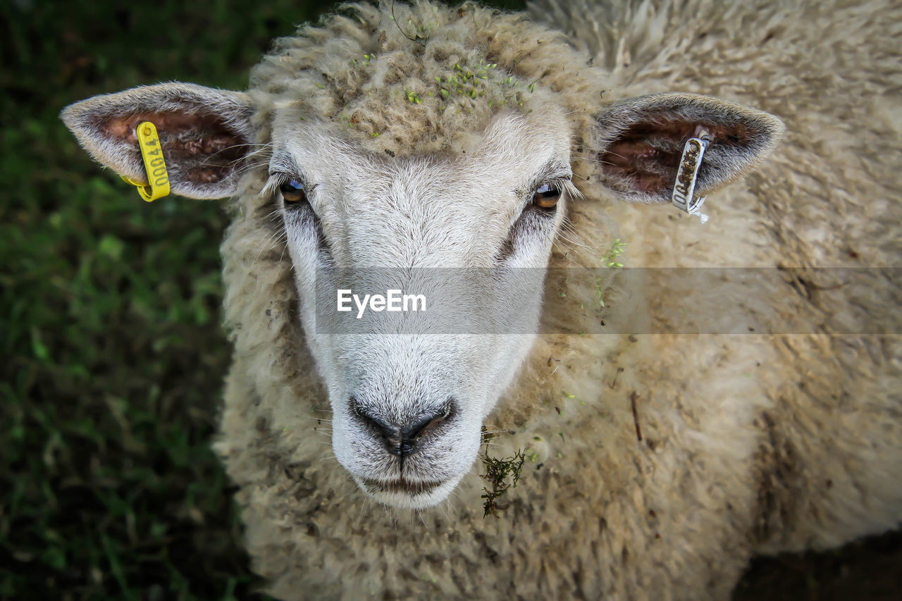 animal, animal themes, mammal, livestock, one animal, domestic animals, portrait, looking at camera, domestic, vertebrate, pets, focus on foreground, close-up, sheep, day, animal head, animal body part, livestock tag, no people, cattle, herbivorous, outdoors, animal mouth
