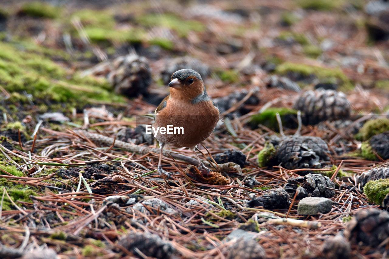 Close-Up Of Bird With Fallen Pine Cones