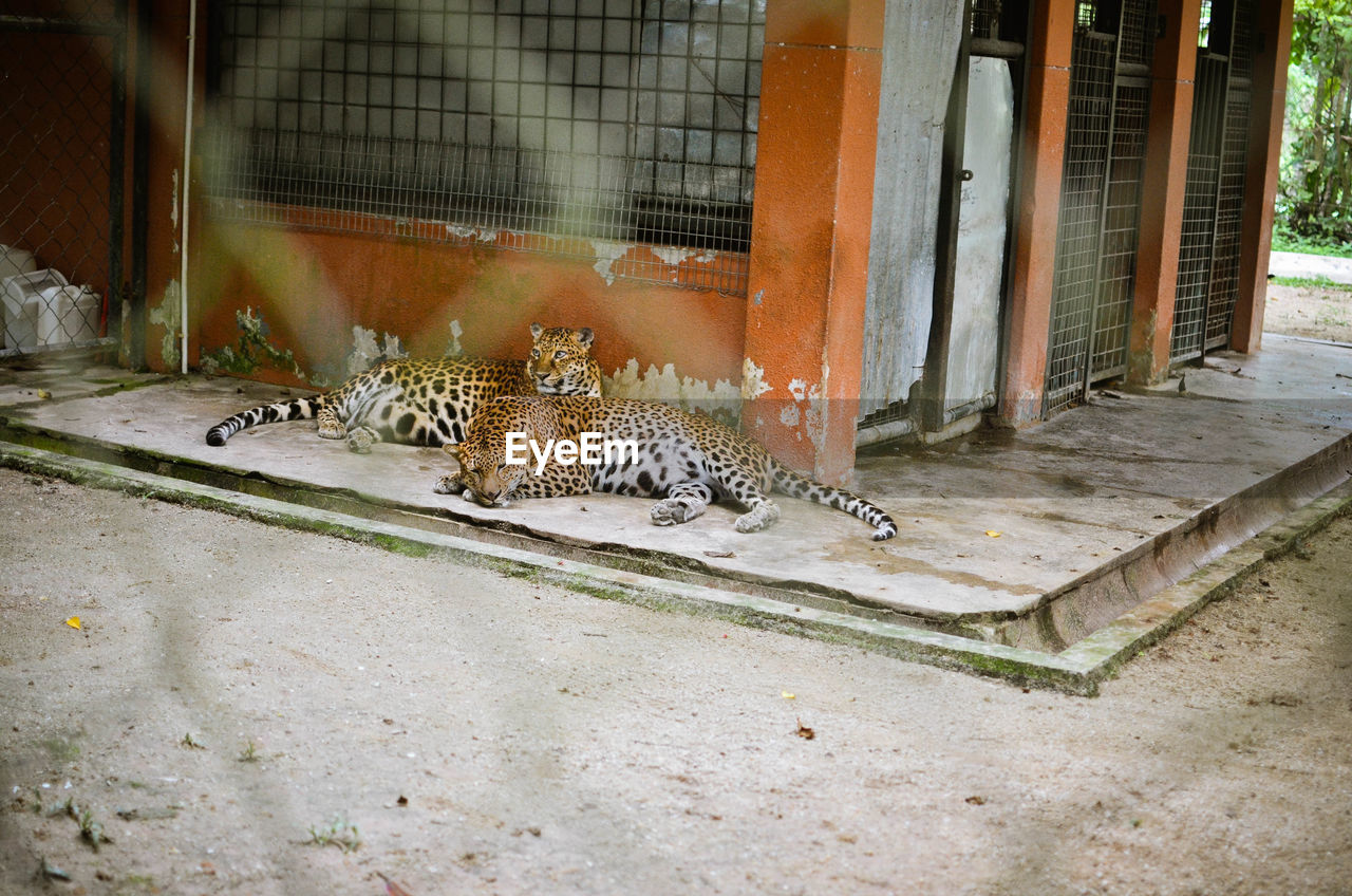Leopards resting by building seen through fence