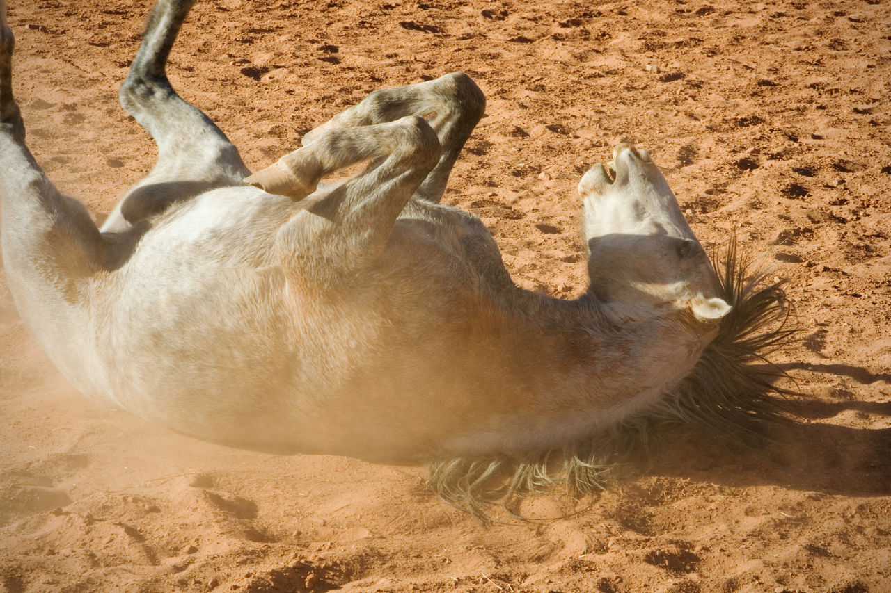 High Angle View Of Horse Rolling While Lying On Soil At Barn
