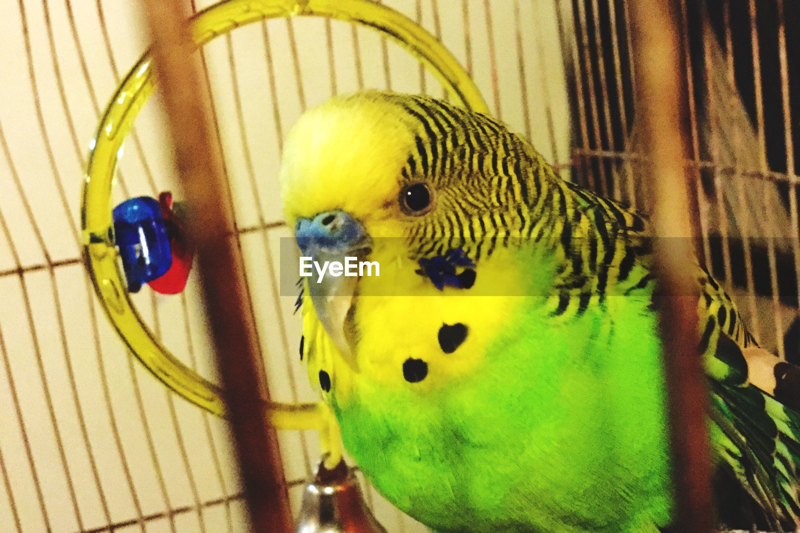 indoors, animal themes, one animal, yellow, close-up, cage, pets, domestic animals, green color, no people, parrot, multi colored, animal head, toy, animal representation, animals in captivity, high angle view, day, wildlife, bird
