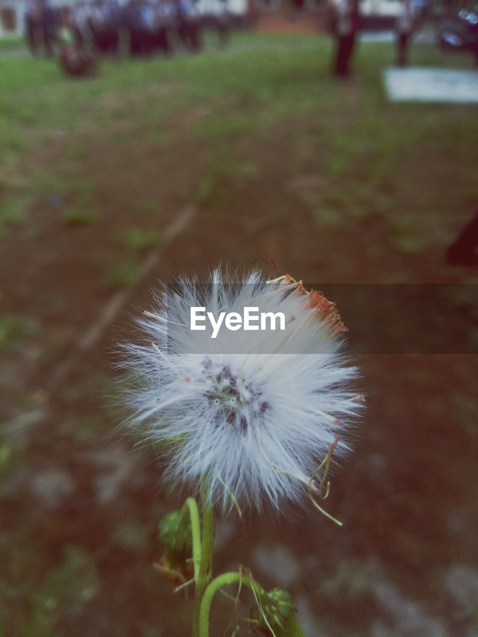 flower, plant, flowering plant, fragility, vulnerability, dandelion, close-up, beauty in nature, freshness, no people, nature, inflorescence, focus on foreground, white color, day, growth, land, flower head, field, softness, outdoors, dandelion seed