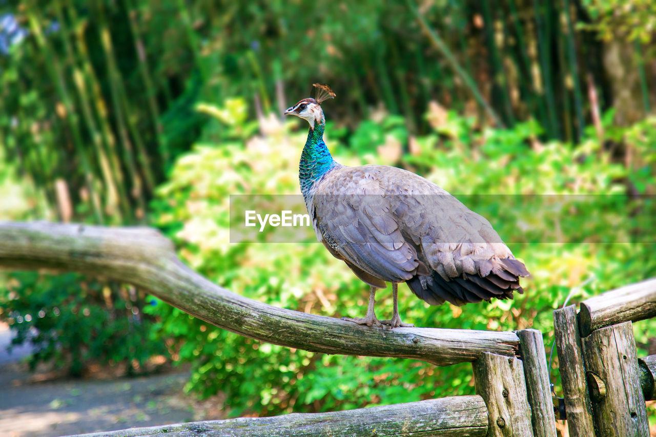 Peacock On Railing