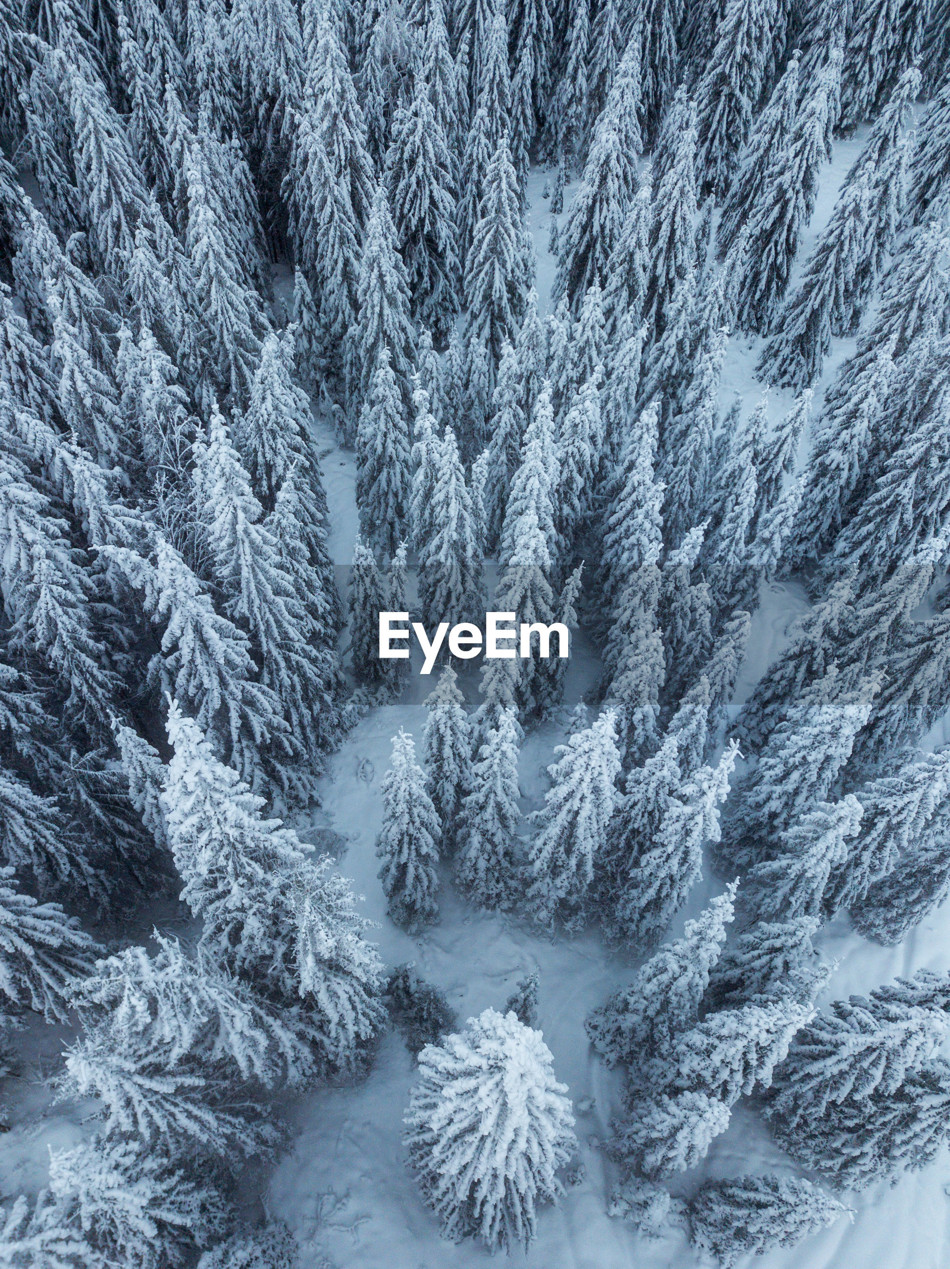 Full frame shot of snow covered pine trees in forest