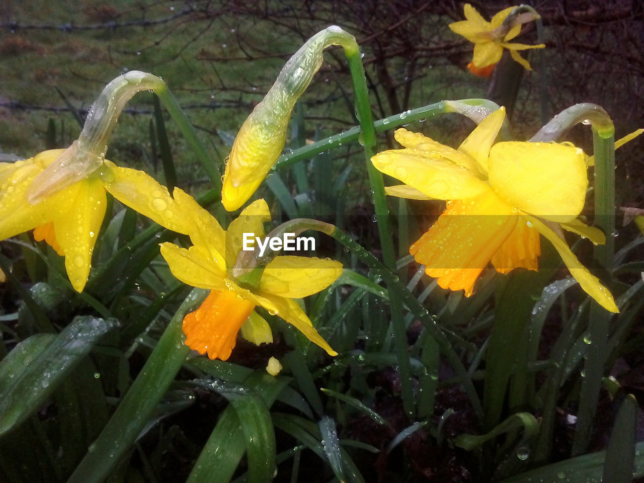 flower, petal, fragility, growth, freshness, flower head, yellow, beauty in nature, nature, plant, blooming, outdoors, close-up, no people, springtime, day, day lily