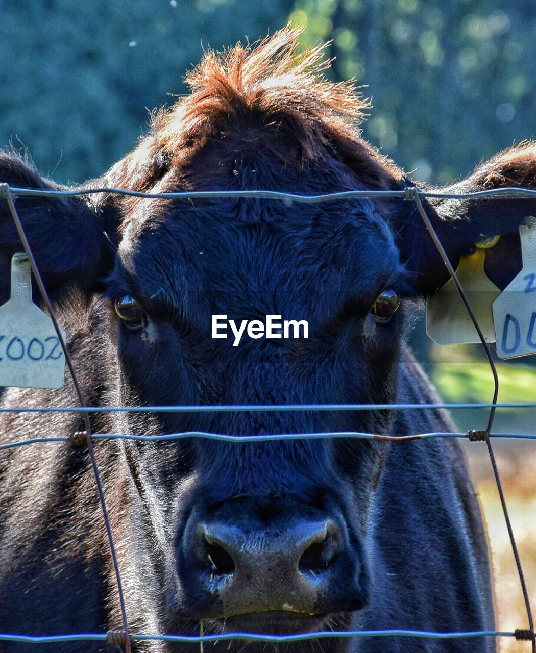 domestic, domestic animals, mammal, pets, animal, livestock, animal themes, cattle, close-up, vertebrate, one animal, cow, animal body part, animal head, livestock tag, focus on foreground, portrait, domestic cattle, day, looking at camera, no people, herbivorous, snout, animal nose